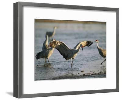 Sandhill Cranes at the Platte River Roost--Framed Photographic Print