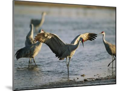 Sandhill Cranes at the Platte River Roost--Mounted Photographic Print