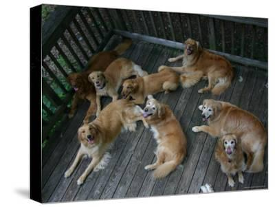 A Happy Group of Golden Retrievers Relax Together--Stretched Canvas Print