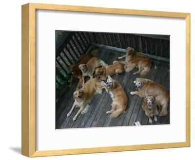 A Happy Group of Golden Retrievers Relax Together--Framed Photographic Print