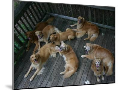 A Happy Group of Golden Retrievers Relax Together--Mounted Photographic Print