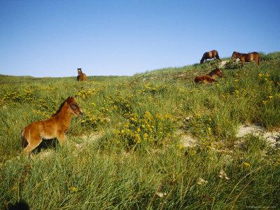 Wild Horses Graze on Beach Grass in the Dunes Near the Shore--Framed Photographic Print