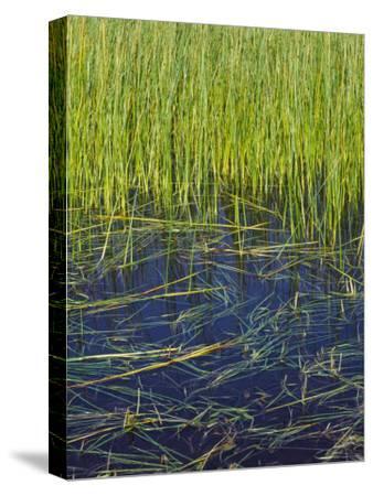 Marram Beach Grass or Ammophila Breviligulata--Stretched Canvas Print