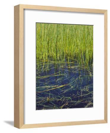 Marram Beach Grass or Ammophila Breviligulata--Framed Photographic Print