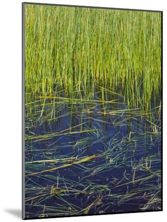 Marram Beach Grass or Ammophila Breviligulata--Mounted Photographic Print