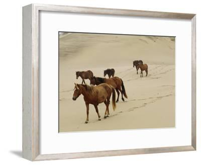 A Group of Wild Horses in the Dunes of Sable Island--Framed Photographic Print