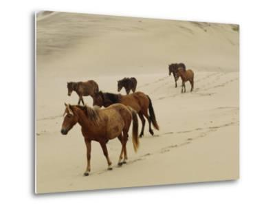 A Group of Wild Horses in the Dunes of Sable Island--Metal Print