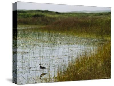 Beach Grass and an American Avocet on the Shore of Sable Island--Stretched Canvas Print