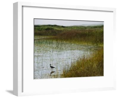 Beach Grass and an American Avocet on the Shore of Sable Island--Framed Photographic Print