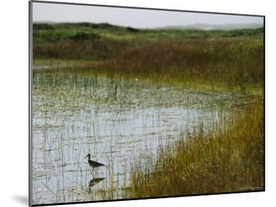 Beach Grass and an American Avocet on the Shore of Sable Island--Mounted Photographic Print
