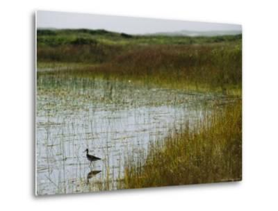 Beach Grass and an American Avocet on the Shore of Sable Island--Metal Print