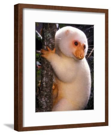 A Cuscus Clinging to a Tree Trunk--Framed Photographic Print