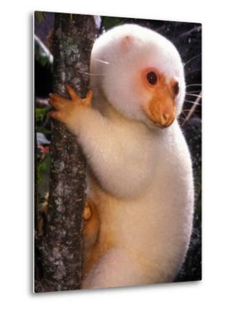 A Cuscus Clinging to a Tree Trunk--Metal Print