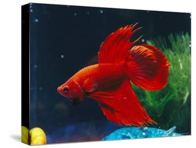 A Red Siamese Fighting Fish in an Aquarium-Jason Edwards-Stretched Canvas Print