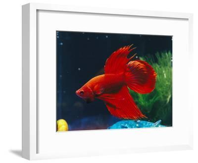 A Red Siamese Fighting Fish in an Aquarium-Jason Edwards-Framed Photographic Print