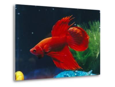 A Red Siamese Fighting Fish in an Aquarium-Jason Edwards-Metal Print