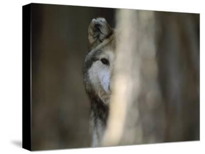 A Captive Mexican Gray Wolf Peers from Behind a Tree Trunk-Joel Sartore-Stretched Canvas Print