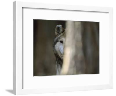 A Captive Mexican Gray Wolf Peers from Behind a Tree Trunk-Joel Sartore-Framed Photographic Print