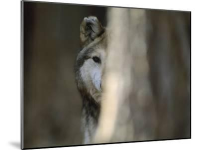 A Captive Mexican Gray Wolf Peers from Behind a Tree Trunk-Joel Sartore-Mounted Photographic Print