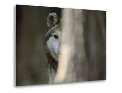 A Captive Mexican Gray Wolf Peers from Behind a Tree Trunk-Joel Sartore-Metal Print