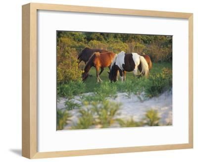 Wild Ponies Graze on Tender Grasses-Raymond Gehman-Framed Photographic Print