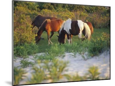Wild Ponies Graze on Tender Grasses-Raymond Gehman-Mounted Photographic Print
