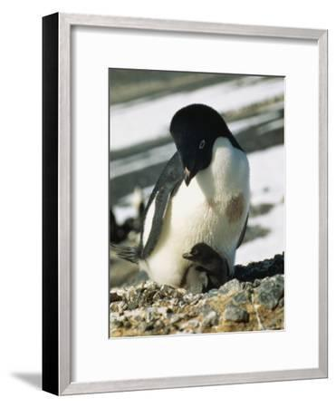 An Adelie Penguin and Its Chick-Bill Curtsinger-Framed Photographic Print