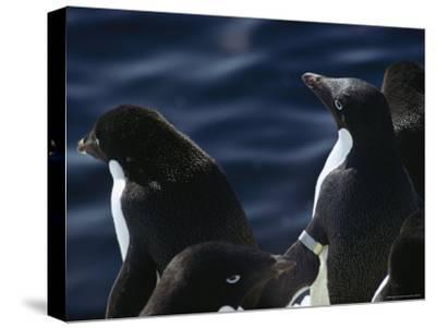 Adelie Penguins Stand at the Waters Edge-Bill Curtsinger-Stretched Canvas Print
