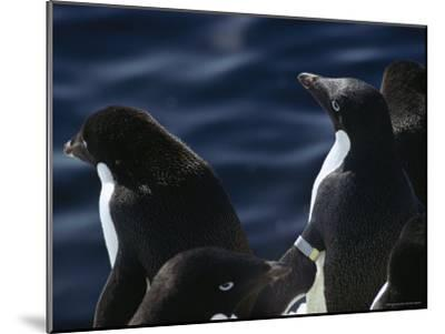 Adelie Penguins Stand at the Waters Edge-Bill Curtsinger-Mounted Photographic Print