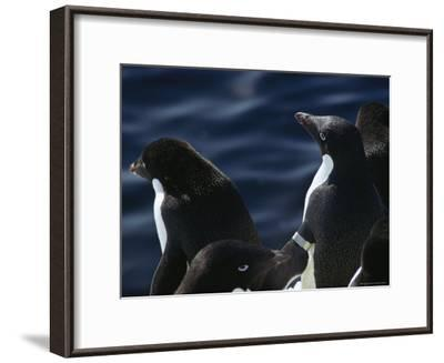 Adelie Penguins Stand at the Waters Edge-Bill Curtsinger-Framed Photographic Print