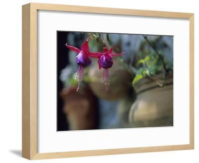 A Fuchsia Blossom Hangs from a Clay Planter-David Evans-Framed Photographic Print