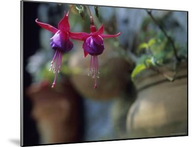 A Fuchsia Blossom Hangs from a Clay Planter-David Evans-Mounted Photographic Print