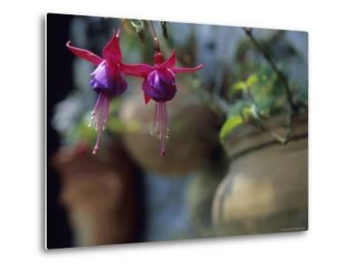 A Fuchsia Blossom Hangs from a Clay Planter-David Evans-Metal Print