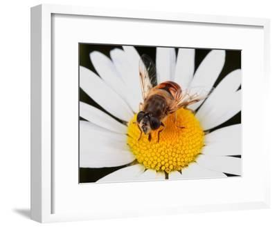 Drone Fly, Earistalis Species, a Honey Bee Mimic, Feeding on Nectar-George Grall-Framed Photographic Print