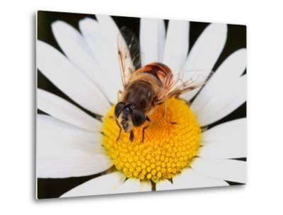 Drone Fly, Earistalis Species, a Honey Bee Mimic, Feeding on Nectar-George Grall-Metal Print