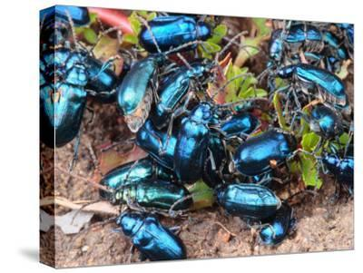 Mexican Blue Beetles in a Feeding Frenzy-George Grall-Stretched Canvas Print
