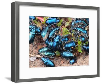 Mexican Blue Beetles in a Feeding Frenzy-George Grall-Framed Photographic Print