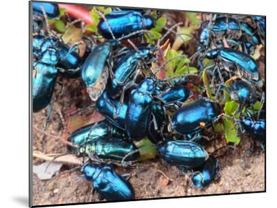 Mexican Blue Beetles in a Feeding Frenzy-George Grall-Mounted Photographic Print