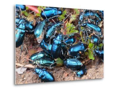 Mexican Blue Beetles in a Feeding Frenzy-George Grall-Metal Print