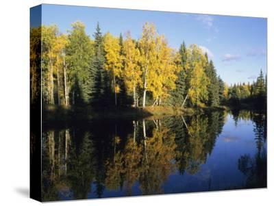 Birch Trees Reflected in a Pond in the Fall-Rich Reid-Stretched Canvas Print
