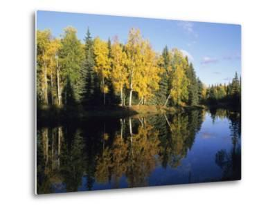 Birch Trees Reflected in a Pond in the Fall-Rich Reid-Metal Print