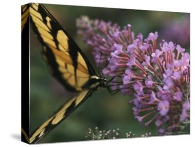 A Butterfly Sips Nectar from a Flower with Its Long Proboscis-Taylor S^ Kennedy-Stretched Canvas Print