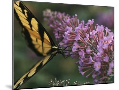 A Butterfly Sips Nectar from a Flower with Its Long Proboscis-Taylor S^ Kennedy-Mounted Photographic Print