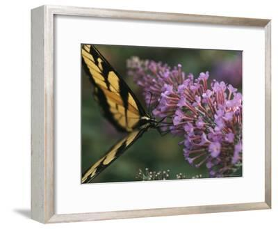 A Butterfly Sips Nectar from a Flower with Its Long Proboscis-Taylor S^ Kennedy-Framed Photographic Print
