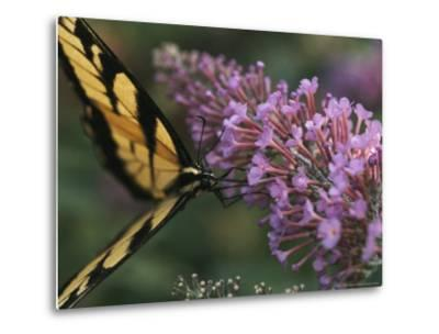 A Butterfly Sips Nectar from a Flower with Its Long Proboscis-Taylor S^ Kennedy-Metal Print