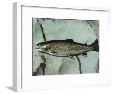 A Brook Trout, Salvelinus Frontinalis, Lying on a Flat Stone-Bill Curtsinger-Framed Photographic Print