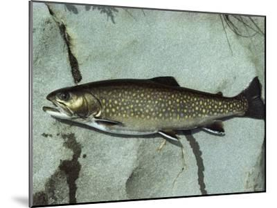 A Brook Trout, Salvelinus Frontinalis, Lying on a Flat Stone-Bill Curtsinger-Mounted Photographic Print