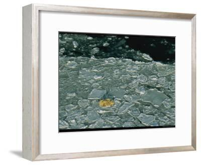 Polar Bear Mother and Cubs Resting on Cracked and Broken Sea Ice-Norbert Rosing-Framed Photographic Print
