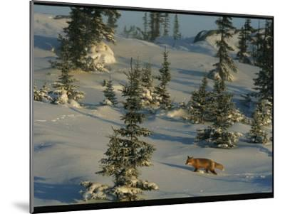 A Red Fox Walking Among Evergreen Trees in a Snowy Landscape-Norbert Rosing-Mounted Photographic Print