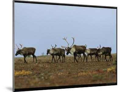 A Group of Caribou in a Tundra Landscape-Norbert Rosing-Mounted Photographic Print